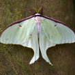 Luna Moth Close Up — Stock Photo #6078047
