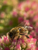Honey Bee at Work — Stock Photo