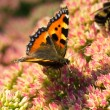 Stock Photo: Tortoiseshell Butterfly