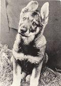 Dog Sirko — Foto Stock