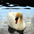 Beautiful swan — Stock Photo
