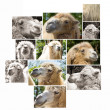 Royalty-Free Stock Photo: Camel portrait multishot collage