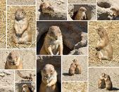 Souslik (ground squirrel) multishot collage — Stock Photo