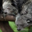Binturong stand on head — Foto Stock