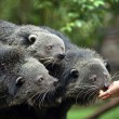 Three binturongs — Stock Photo