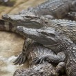 Many crocodiles — Stock Photo #20085869