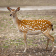 Spotty deer — Stock Photo #20086271