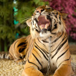 The tiger growls — Stock Photo