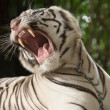 The white tiger growls - Stock Photo