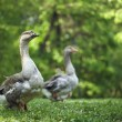Two wild geese in the wood — Stock Photo #20086571