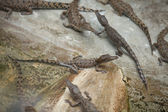 Cubs of crocodiles — Stock Photo