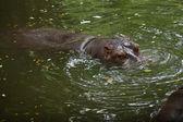 Hippopotamus in water — Stock Photo