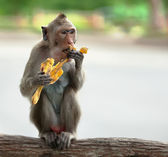 Monkey eats banana — Stock Photo