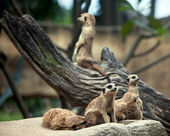 Meerkats family — Stock Photo