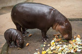 Small pygmy hippopotamus — Stock Photo
