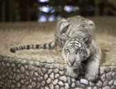 Small white tiger — Stock Photo