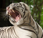 The white tiger growls — Stock Photo