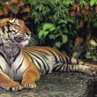 Red adult tiger - Stock Photo
