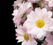 Bouquet of pink chrysanthemums — Foto Stock