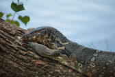 Female of a monitor lizard — Stock Photo