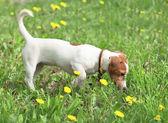 Perrito entra en un prado — Foto de Stock