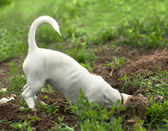 The puppy of jack russel — Stock Photo