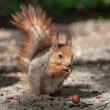 Red squirrel — Stock Photo #26276909