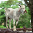 Wild white goat — Stock Photo