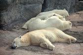 Four polar bears — Stock Photo