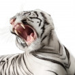 Stock Photo: White tiger growls