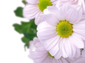 Bouquet of pink chrysanthemums — Stock Photo