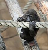 Cub goryla — Zdjęcie stockowe