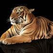 Stock Photo: Tiger has a rest