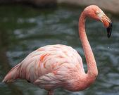 Flamingo portrait — Stock Photo