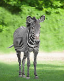 One zebra — Stock Photo