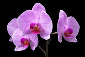 Bouquet of magenta orchids — Stock Photo