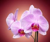 Magenta orchid — Stock Photo