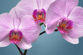 Magenta orchid — Stock Photo