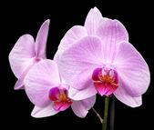 Magenta orchid — Foto de Stock