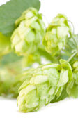 Detail of hop cone and leaves on white background — Stock Photo
