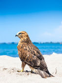 Osprey Fling Over White Sand Beach — Stock Photo