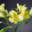 Alstroemeria Lilly flowers in grey background — Stock Photo