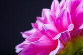 Paeonia rosa fiore. — Foto Stock
