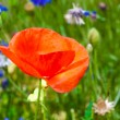 Stock Photo: Background with poppy flower