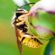 Wasp on Peony — Stock Photo