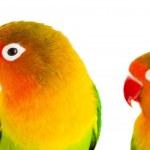 para gołąbków agapornis-fischeri — Zdjęcie stockowe