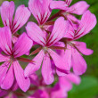 Phlox flower  — Stock Photo