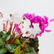 Stock Photo: Cyclamen flower