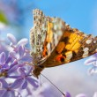 Butterfly on Lilac Flower — Stock Photo