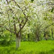 Apple trees  — Stock Photo